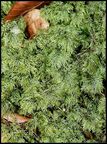Hylocomium splendens (6)