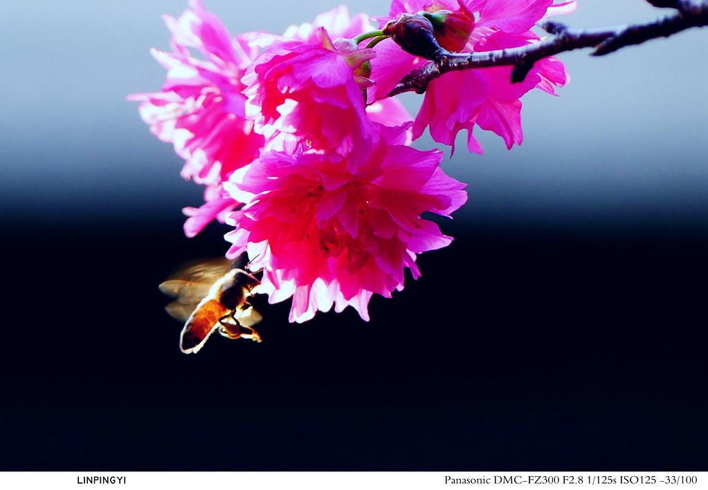 櫻花盛開正甜蜜    【FZ300】