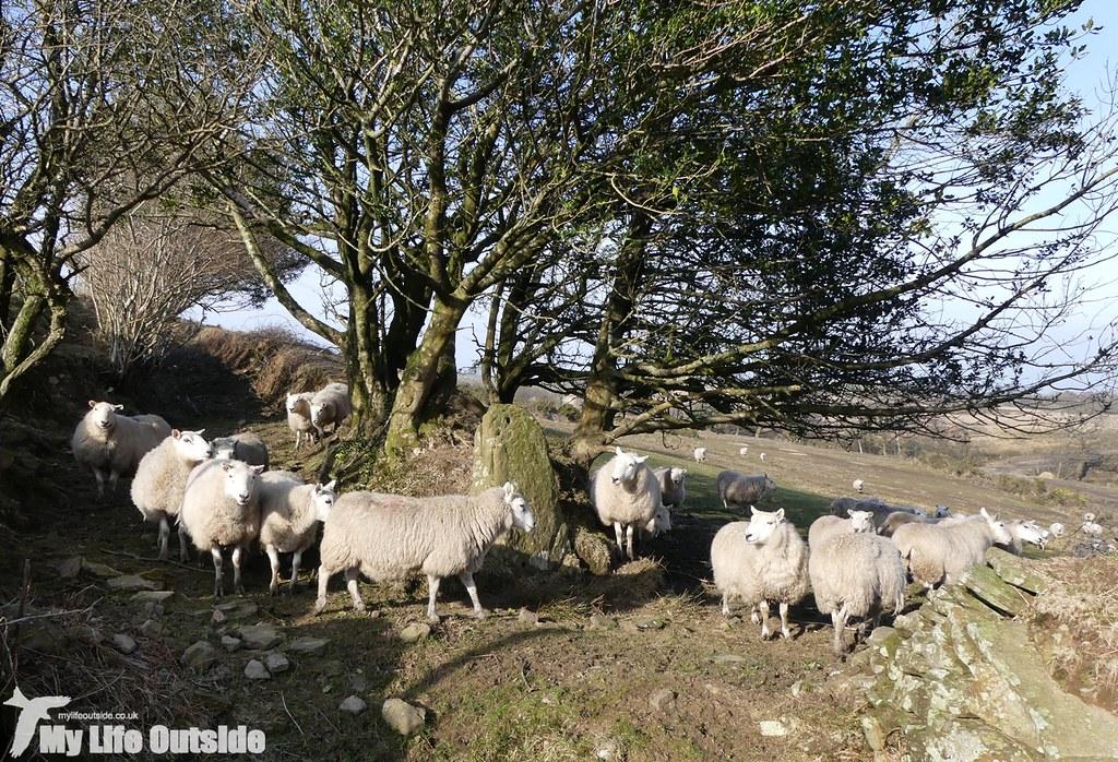 P1000531 - Sheep!