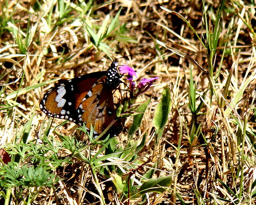 IMG 3037.1  A butterfly in Bingara NSW