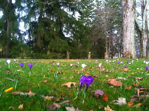 Middle Path crocus patch