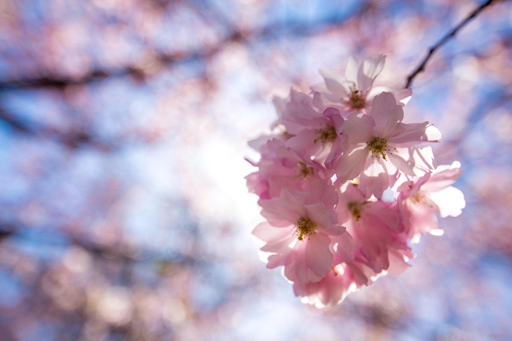 Bispebjerg Sakura-3396