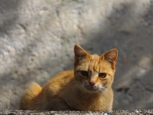 γάτα φύλακασ ανθηρό κανελί ορεινάκαστοριάσ