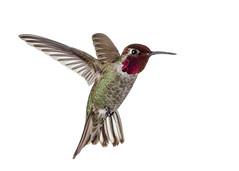 Annas Hummingbird (Male) on White