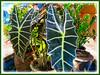 Alocasia sanderiana (Kris Plant, Keris Plant, Sander's Alocasia, African Mask)