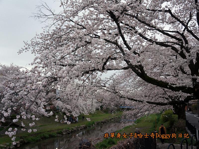 日本東京深大寺溫泉周邊賞櫻花20