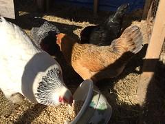 chicken IMG_4935