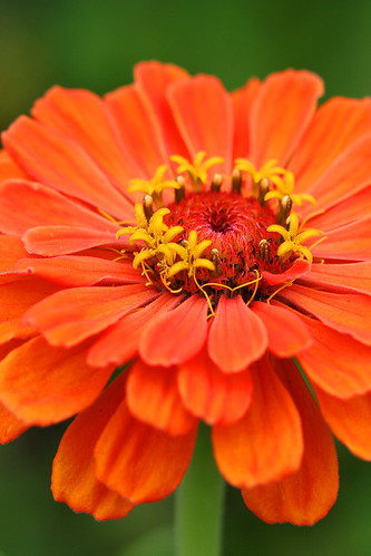 zinnia giant orange
