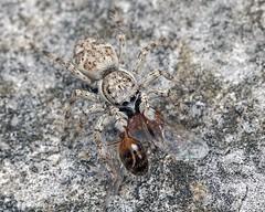 Wall jumper kills winged ant
