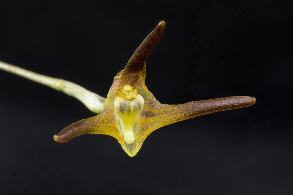 Miniatur-Orchideen Teil 3 - Seite 4 24942035460_b923f0e508_b