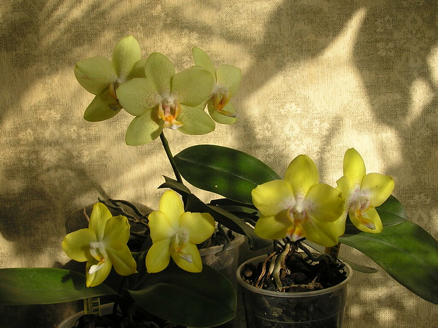 Yellow Moth Orchids
