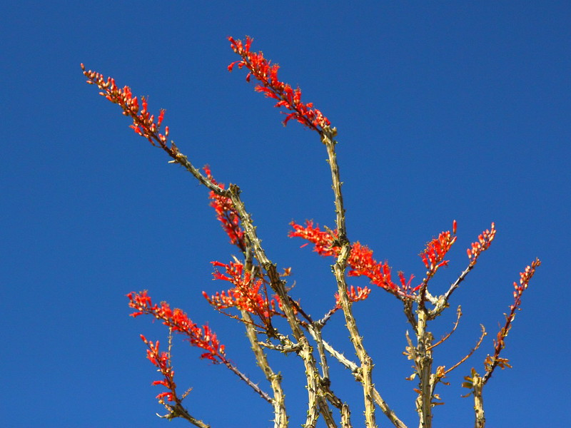 IMG_3375 Ocotillo Flowers
