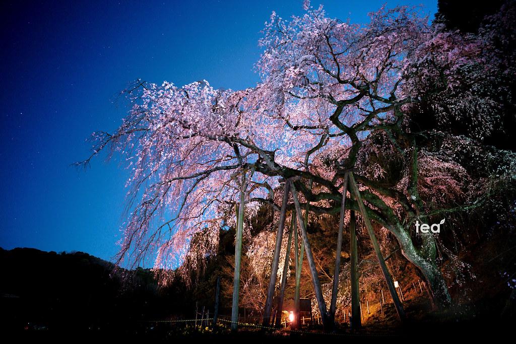 Okuyamada cherry blossom | A7R2 + Loxia 2.8/21
