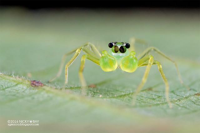 Jumping spider (Onomastus sp.) - DSC_6253