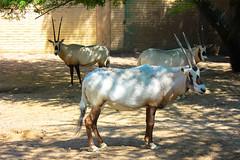 Oryx 'Maha'