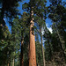 Giant Sequoia by bclee