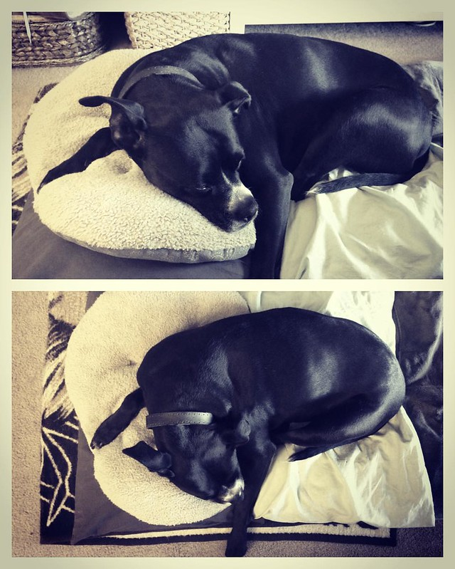 Frances on Her Tuffet #dogs #pitbulls #pitbullterriers #deadofcute