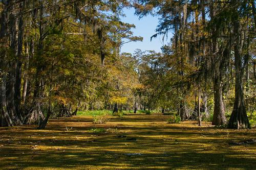 trees usa lake reflection sunrise pond louisiana atchafalayabasin bayou cedar swamp spanishmoss wetlands cypress riverdelta lakemartin baldcypress
