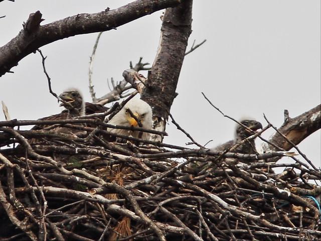 Bald Eagle 2 eaglets 3-20160420