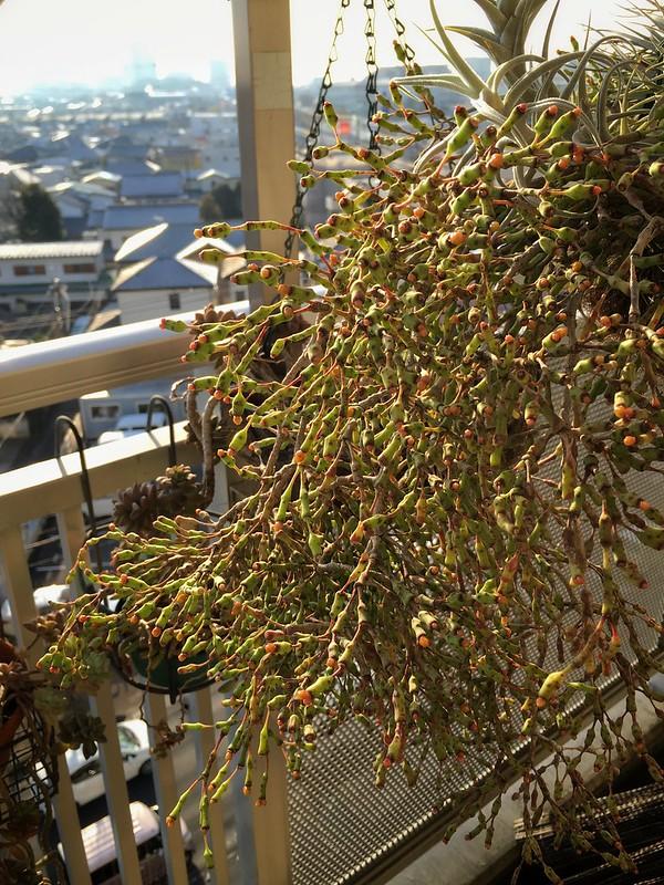2016/01/13 Hatiora salicornioides var. salicornioides