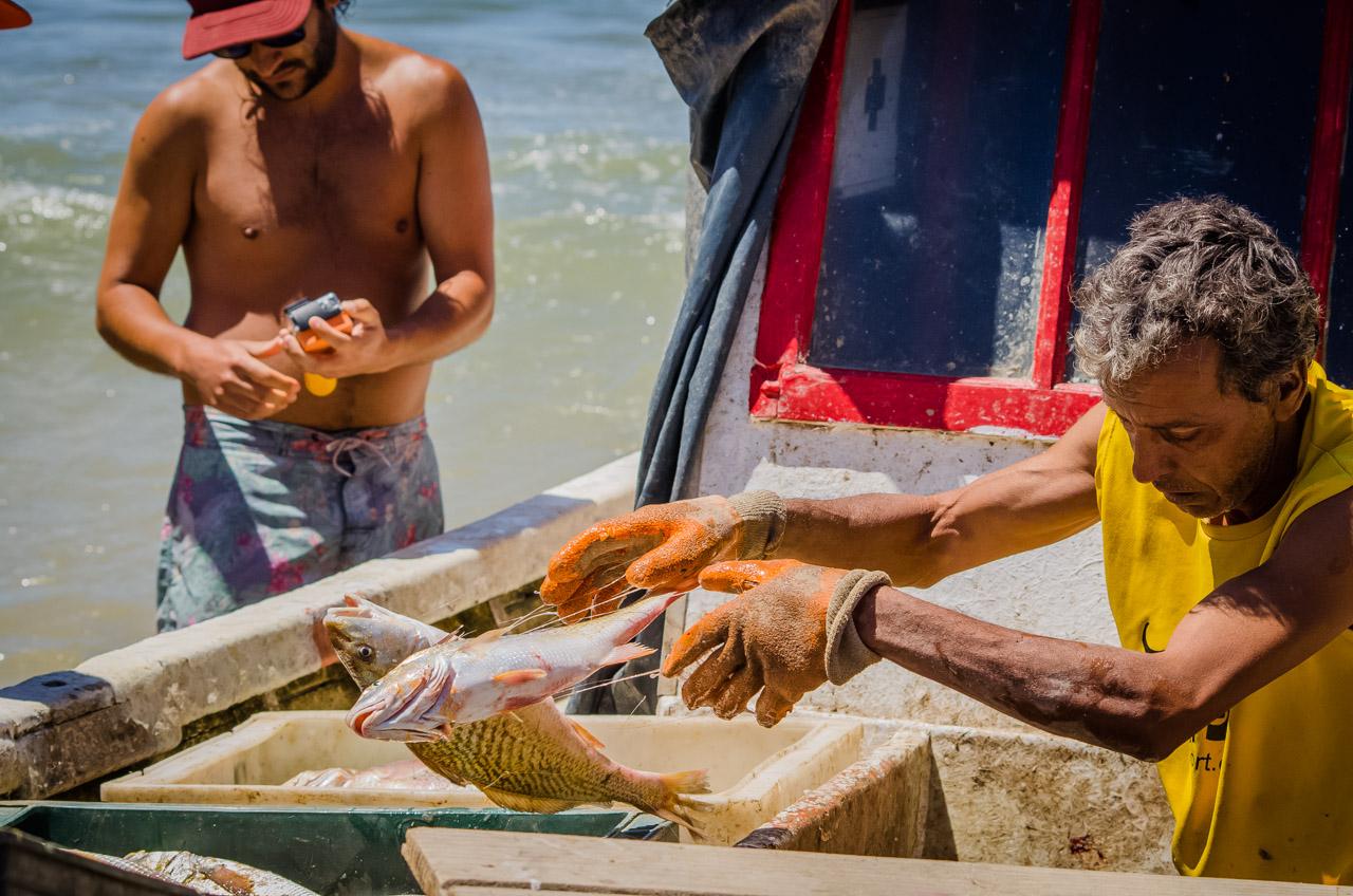 Pescadores de Punta del Diablo separa los peces según la especie, antes de descender de la embarcación, para alivianar la carga y remolcarla. (Elton Núñez)