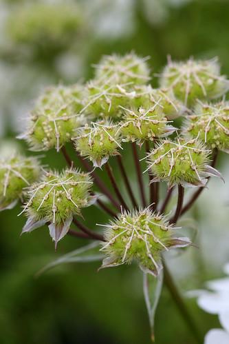 Orlaya seed