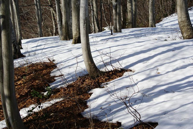 後山ブナ林公園の雪融け_2009-03-08