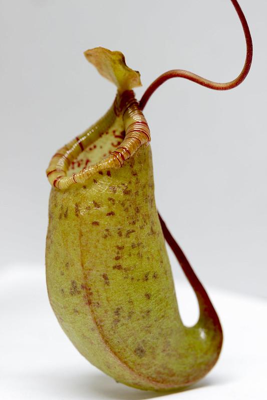 N. ventricosa x ovata EP