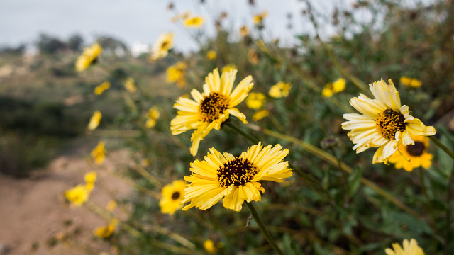 Bush sunflower (Encelia californica)