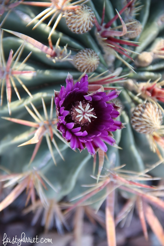 Purple Cactus flower_feistyharriet_April 2016