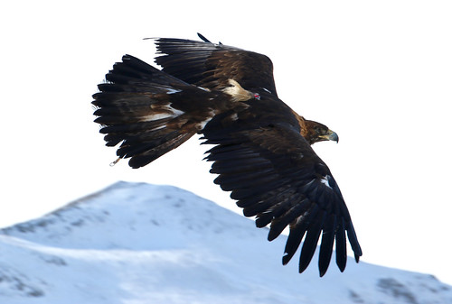 eagle mongolia kazakh goldeneagle eaglehunter