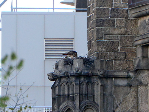 Cathedral Hawk Nest - 7261