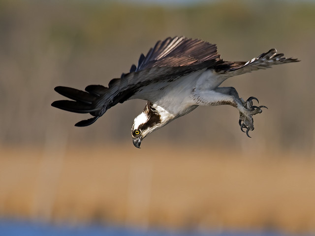Osprey Mid Dive