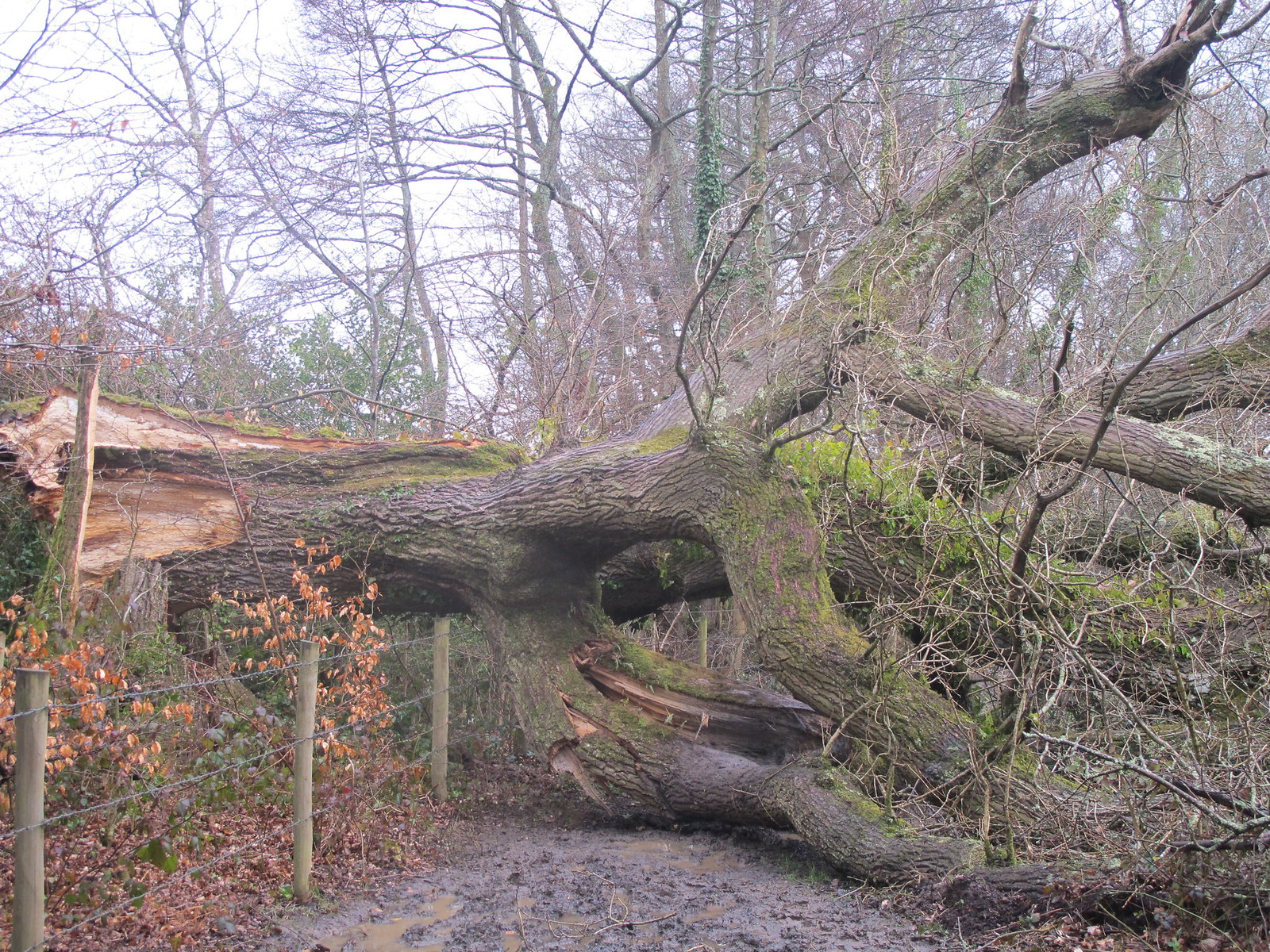 Fallen Oak Tree in Squabb Wood SWC Walk 58 Mottisfont and Dunbridge to Romsey taken by Karen C.