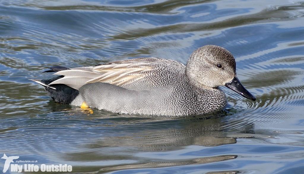 P1000674 - Gadwall, Sandy Water Park