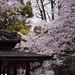 Sakura at Temple by michaelrcfj