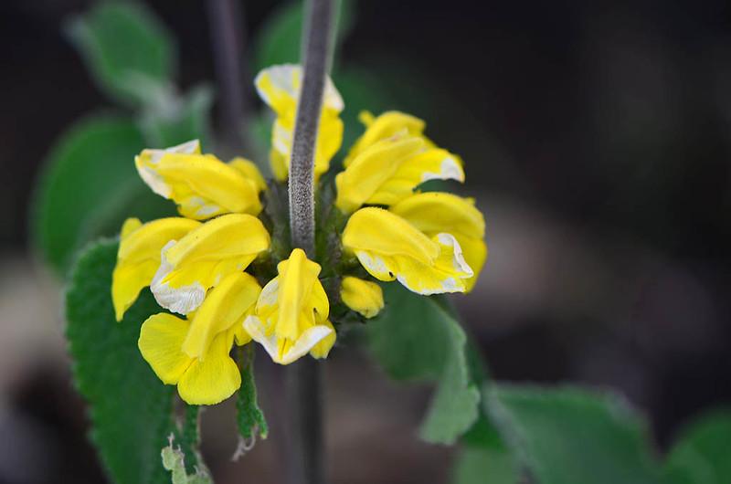 Jerusalem Sage (Phlomis russeliana)