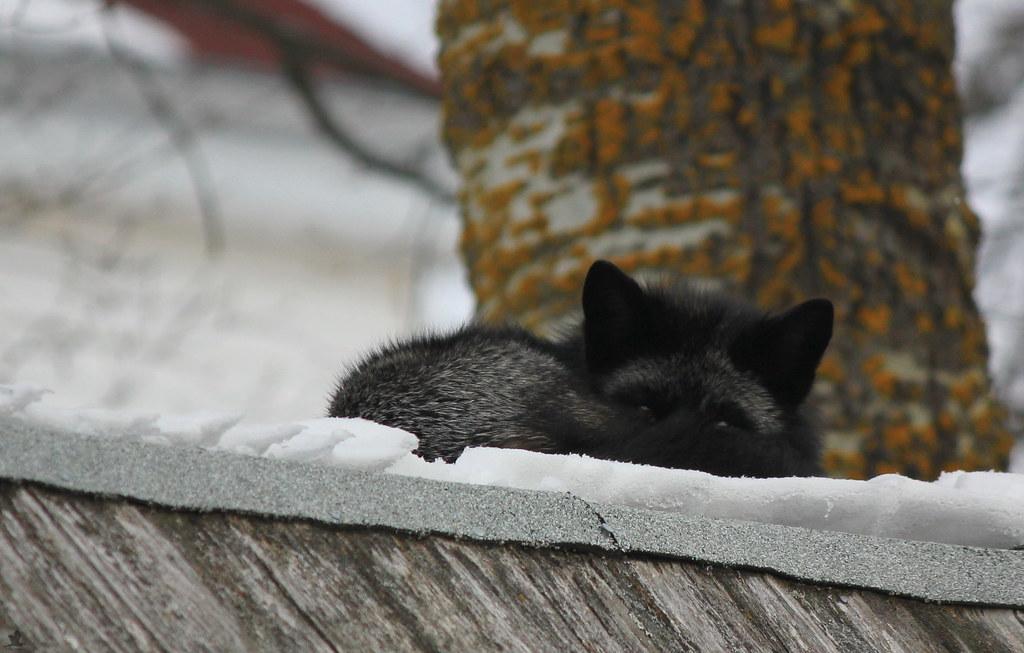 Silver Fox Comfort.