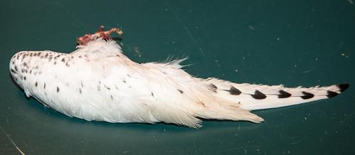 Ivory Gull Carcass