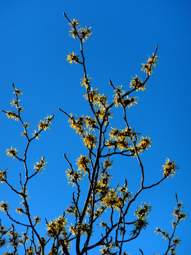 Yellow Witch Hazel Flowering in January in Stanley Park