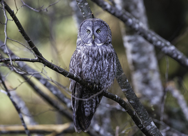 Great Gray Owl (602_9960-1)