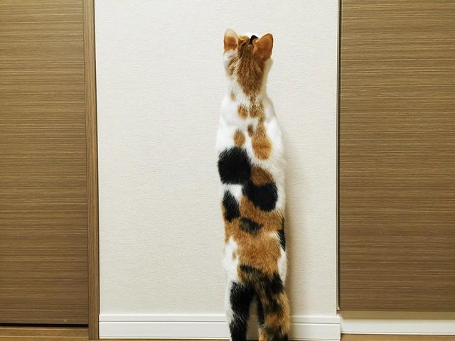 立ち上がる三毛猫😮 #cat #cats #catsofinstagram #catstagram #instacat #instagramcats #neko #nekostagram #猫 #ねこ #ネコ# #ネコ部 #猫部 #ぬこ #にゃんこ #ふわもこ部