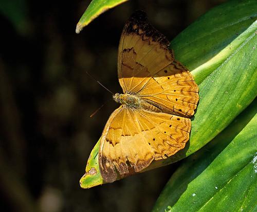 orange brown sunlight india eye butterfly insect leaf wings pattern goa explore shade resting bondla tamilyeoman cirrochroathais bondlawildlifesanctuary