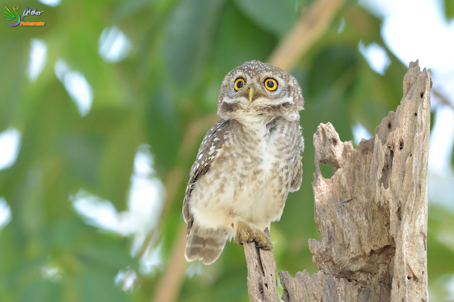 Spotted_Owlet_2996