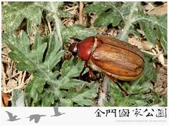 台灣黑金龜