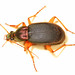 Metallic Ground Beetle - Chlaenius species, Alexandria, Virginia by judygva (out for a few days)