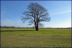 Gosbecks Lonely Oak