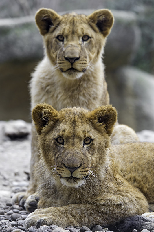 Two lion cubs looking at me