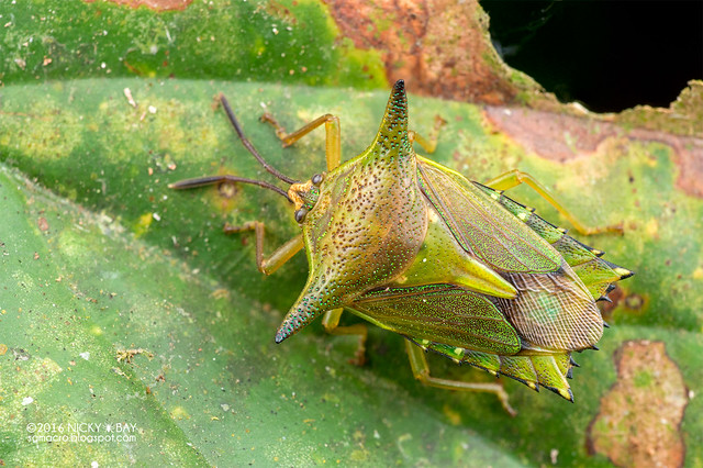 Giant shield bug (Lyramorpha sp.) - DSC_6546