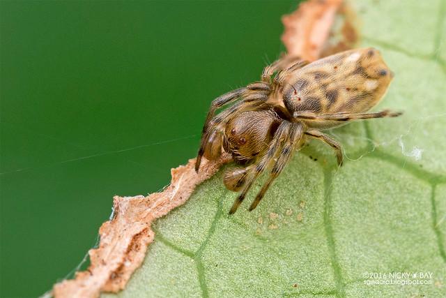 Orb weaver spider (Araneidae) - DSC_7597